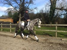 All Rounder horse - 5 yrs 16. 1 hh Dapple Grey
