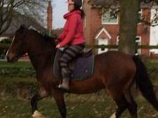 beautiful welsh section D gelding