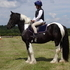 14hh striking Irish piebald 5yo gelding