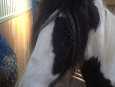 Cobs horse - 2 yrs 1 mth 13.3 hh Coloured - Staffordshire