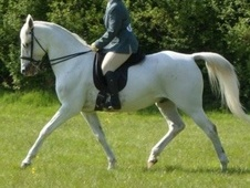Spanish / Iberian horse - 18 yrs 15.0 hh Fleabitten Grey - West S...