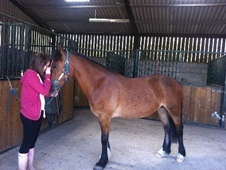 Cobs horse - 5 yrs 3 mths 14.2 hh Bay - Somerset