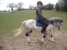 Mountain & Moorland horse - 6 yrs 3 mths 11.2 hh Dapple Grey - No...