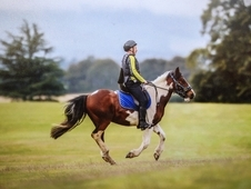 Gelding, 8 yrs, 14. 2, capable and safe all rounder