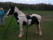 Cobs horse - 3 yrs 14.0 hh Coloured - Kent