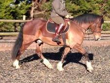 Beautiful All-Rounder 15. 1hh, 14 years old