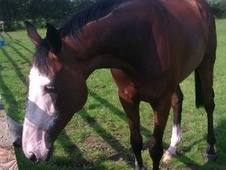 All Rounder horse - 7 yrs 16.0 hh Brown - North Yorkshire