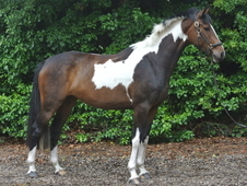 Stunning Coloured Mare - Homebred