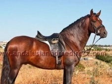 Stunning Andalusian Gelding