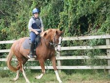 Genuine Alrounder Falcon 16hh Irish Sport Horse