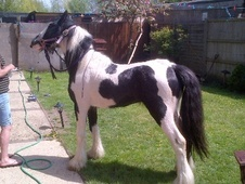 Cobs horse - 3 yrs 13.2 hh Blue & White - Middlesex