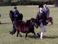 Miniatures horse - 8 yrs 11 mths 33.0 hh Black - Devon