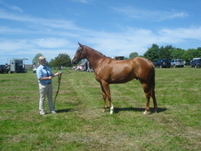 4 year old event horse