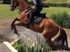 Handsome 15. 2 Chestnut Tb Gelding