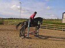 Dark Bay 15. 2/3 Thoroughbred Mare