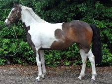 Stunning 16. 1hh Homebred Coloured Mare
