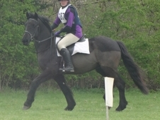 14. 2hh Striking black irish 5yo cob gelding