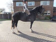 All Rounder horse - 5 yrs 16.1 hh Dark Brown - West Sussex