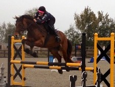 Talented 15. 2hh Welsh Section D Allrounder