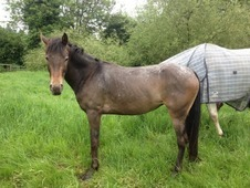 3 Year Old Appaloosa Cross