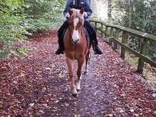 Beautiful Welsh A 12h 6 Year Old Pony