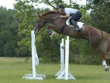 Exceptional Talented in hand, jumping and dressage Stallion