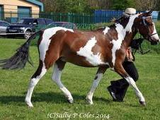 Fabulous tobiano 4 year old gelding by Acado