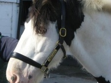 All Rounder horse - 8 yrs 15.0 hh Piebald - Buckinghamshire