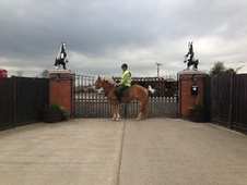 Cobs horse - 7 yrs 14.2 hh Palomino - West Midlands