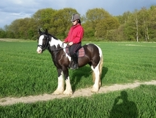 lovely young cob for sale