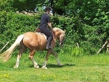 Stunning Palomino Welsh Section D