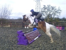 Riding Club Horses/Ponies horse - 7 yrs 1 mth 14.2 hh Coloured - ...