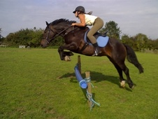 All Rounder horse - 11 yrs 14.2 hh Dark Bay - Leicestershire
