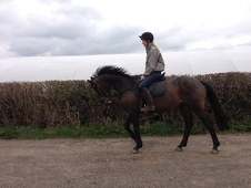 Hunters horse - 9 yrs 16.0 hh Dark Bay - West Midlands