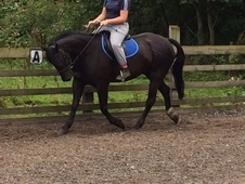 Reduced!! Great All Round 15hh For Sale!