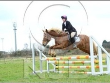 All Rounder horse - 7 yrs 15.1 hh Chestnut - Leicestershire