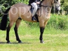 14. 1hh dun Connie X 7 YO *professional home wanted*