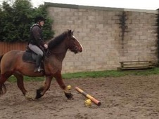 4yr Old Cob X For Sale