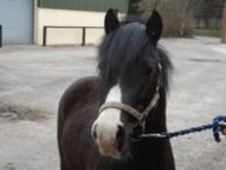 Young Stock  horse - 3 yrs 12.0 hh Dark Bay - Lancashire