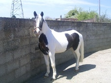 All Rounder horse - 4 yrs 13.1 hh Coloured - Gloucestershire