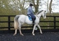 Part Bred horse - 10 yrs 1 mth 15.3 hh Grey - East Sussex