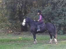 Lovely Mare Cob 14. 2 For Sale!