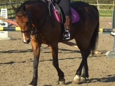 All Rounder horse - 9 yrs 14.1 hh Bright Bay - County Durham