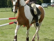Coloured horse - 6 yrs 1 mth 15.0 hh Skewbald - Nottinghamshire