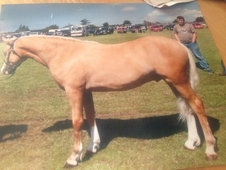 Registered Section B Ride And Drive Gelding 12. 2hh