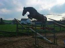 16hh rising 4 year old mare by Heritage Fortunus