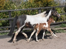 Potential young sports horses horse - 1 mth 16.0 hh Coloured - La...