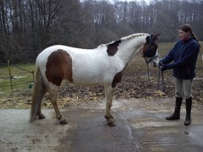 All Rounder horse - 4 yrs 13.1 hh Skewbald - Surrey