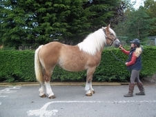 Belgian Draught Mare