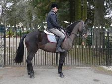 All Rounder horse - 5 yrs 15.1 hh Bay - Lanarkshire